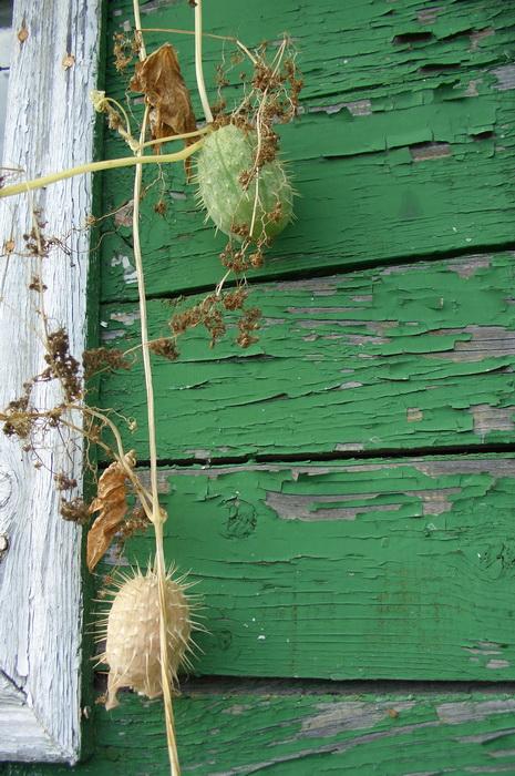 плоды эхиноцистиса лопастного , бешеного огурца, колючеплодника, вертикальное озеленение