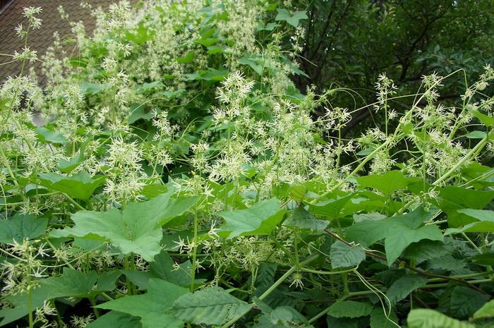 эхиноцистис лопастный, бешеный огурец, колючеплодник, вертикальное озеленение