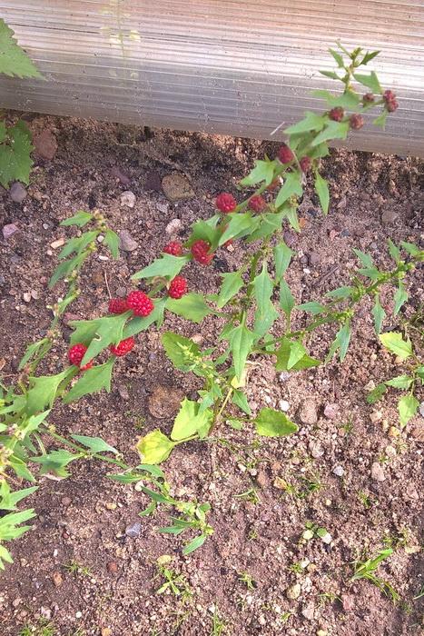 шпинат-малина, шпинат ягодный, земляничный шпинат, марь головчатая (Chenopodium capitatum) и жминда многолистная (Chenopodium foliosum).