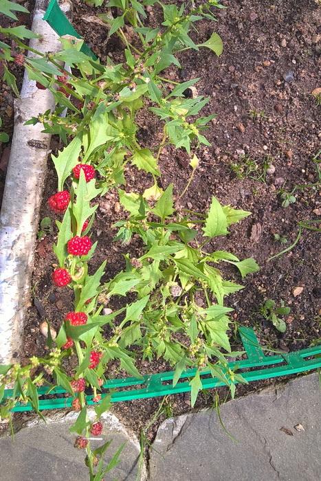 овощная культура шпинат-малина, шпинат ягодный, земляничный шпинат, марь головчатая (Chenopodium capitatum) и жминда многолистная (Chenopodium foliosum).
