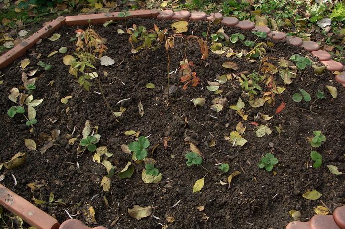 малина розолистная, подготовка малины розолистной к зиме