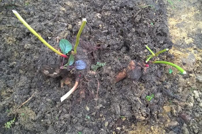 посадка и размножение травянистого пиона, посадочный материал травянистого пиона