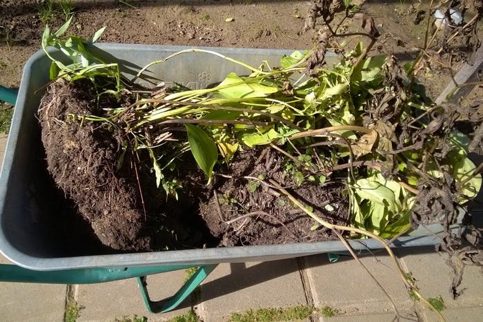 пересадка травянистого пиона, размножение травянистого пиона, корневище травянистого пиона