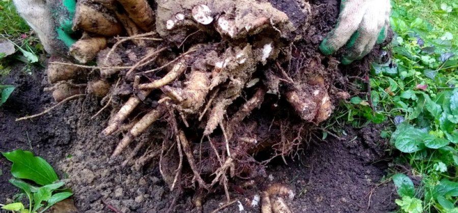 Пересаживаем и размножаем травянистые пионы