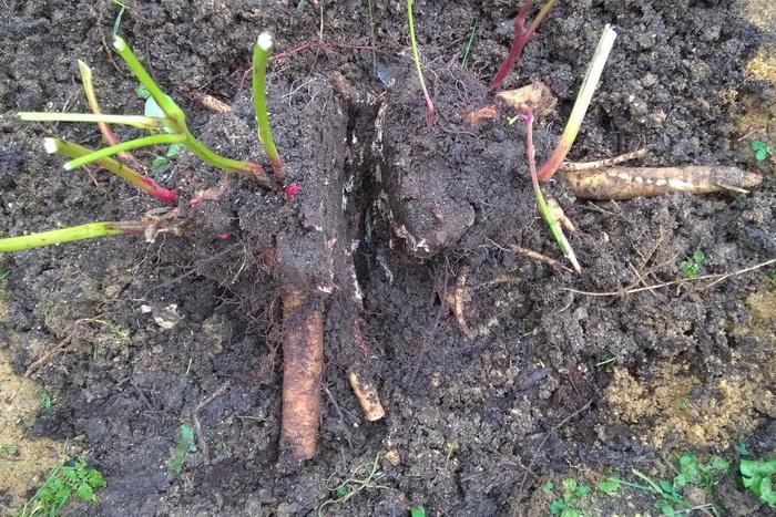 деление и пересадка корневища травянистого пиона, омолаживание пиона, размножение травянистого пиона
