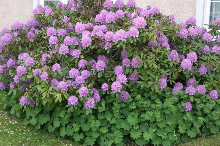 цветущий куст рододендрона, манжетка вокруг куста рододендрона