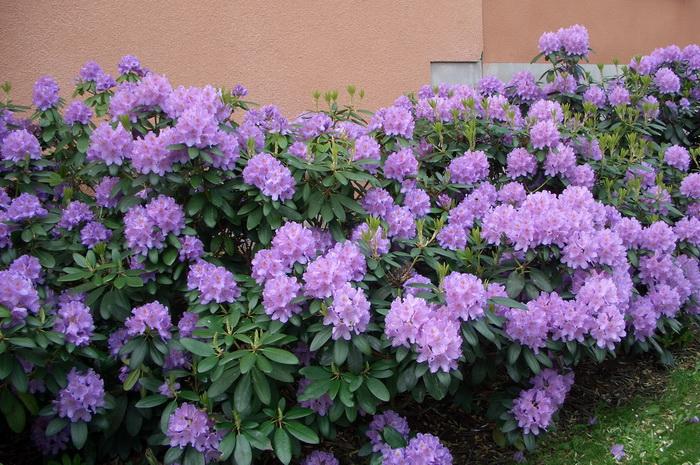 Живая изгородь из кустов рододендрона в период цветения, живая изгородь из рододендрона