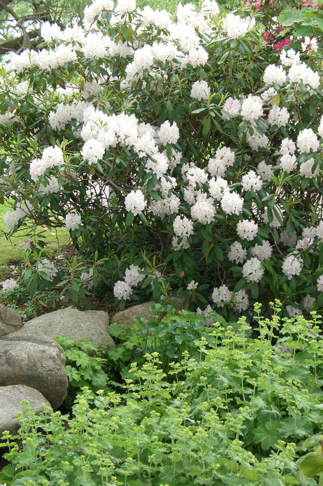 рододендрон и камни, цветущий куст рододендрона рядом с камнями