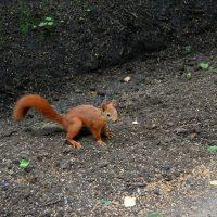 Жизнь белки и её повадки в лесу, парке и в неволе