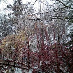 Какие деревья сильнее всего пострадали от ледяного дождя?
