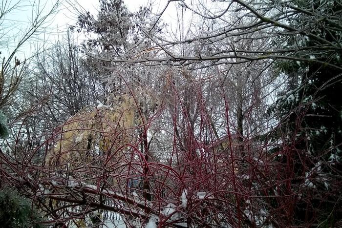 ледяной дождь, обледеневшие деревья и кустарники в саду