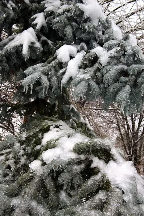 """ледяной дождь, ель """"Хопси"""" после ледяного дождя, ель """"Хопси"""" зимой"""
