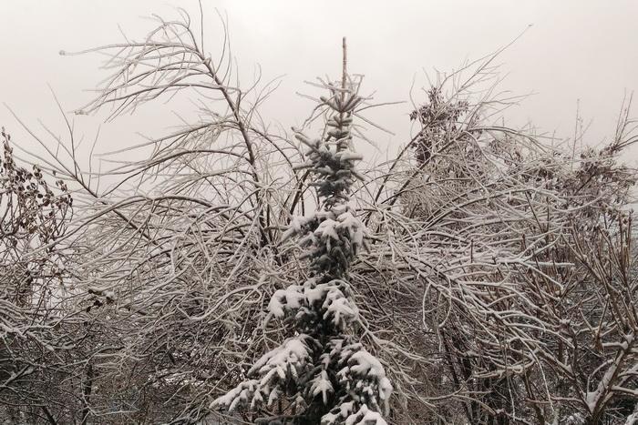 ледяной дождь, тополь белый (серебристый) после ледяного дождя, тополь серебристый (белый) зимой