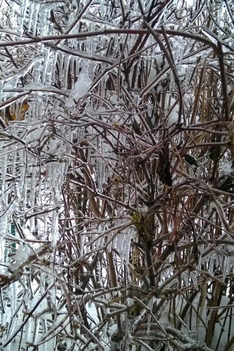 ледяной дождь, как помочь деревьям после ледяного дождя