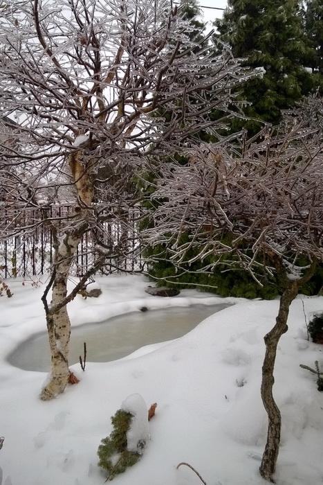 Ледяной дождь, формирование берёзы, садовый бонсай