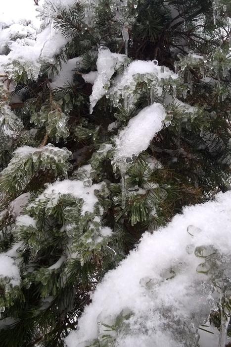 ледяной дождь, сосна после ледяного дождя, как помочь деревьям после ледяного дождя