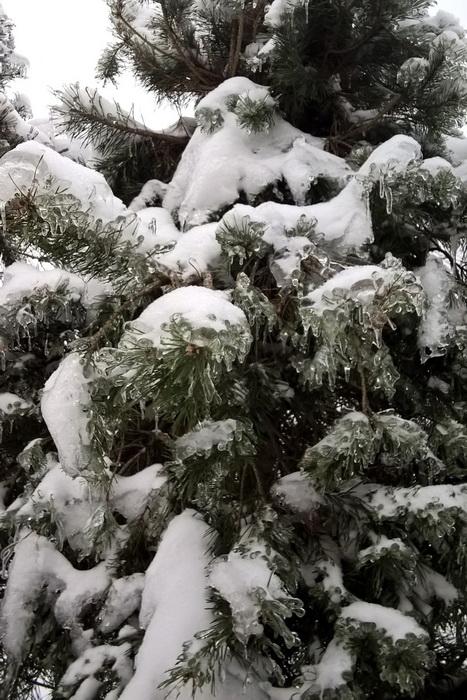 ледяной дождь, садовый бонсай, обледеневшие ветви хвойных деревьев