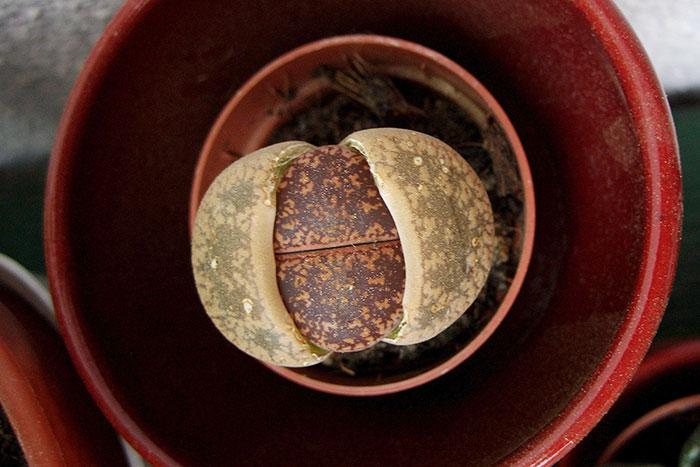 литопсы, живые камни, литопс в горшочке