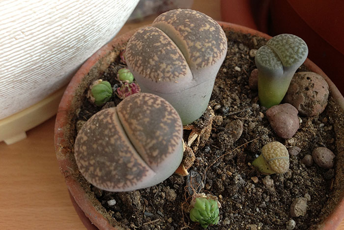 размножение литопсов, посадка литопсов, литопсы, живые камни, литопсы среди камней