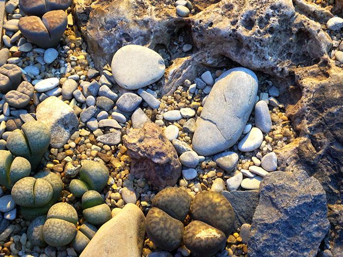 литопсы, живые камни, литопсы среди камней