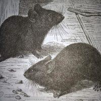 Как избавиться от мышей, поселившихся в доме?