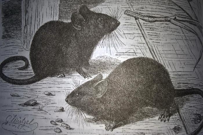 мышь домовая, мыши в доме, чего бояться мыши, как избавиться от мышей