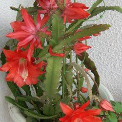 Как вырастить неприхотливый филлокактус с роскошными цветами