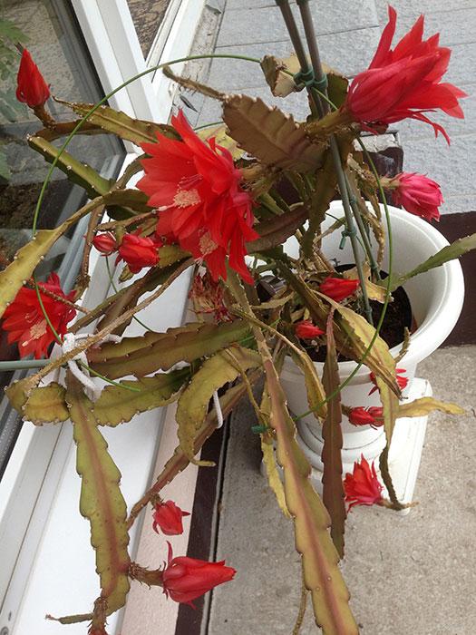 филлокактус Аккермана, цветение филлокактуса, лесные кактусы, цветение эпифиллума