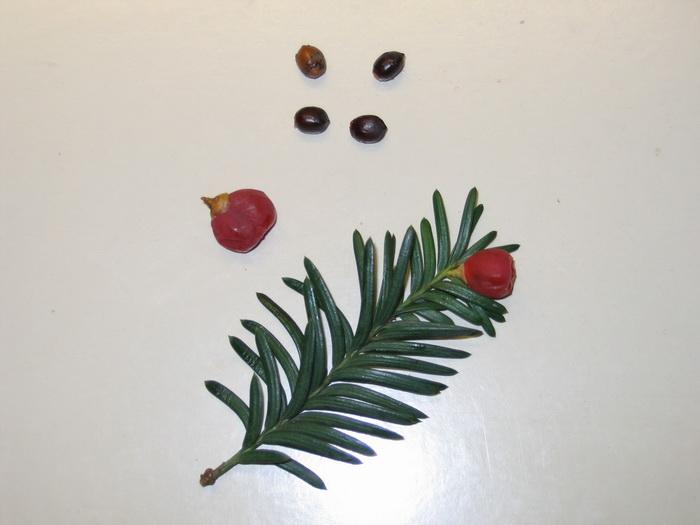 тис ягодный, хвоя (листья) тиса ягодного, семена тиса, кровелька тиса ягодного,