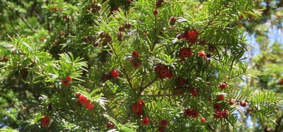 Куда посадить, как вырастить и размножить тис?
