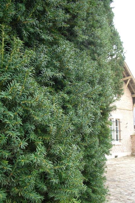 живая изгородь из тиса, формирование кроны тиса, обрезка тиса