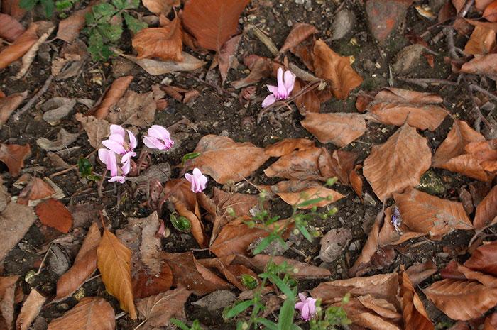 Природные виды цикламена, цветение цикламена в природе