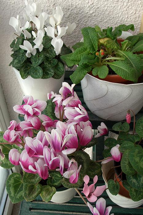 цикламен, цветы цикламена, выращивание цикламена в доме, цикламен на застеклённой лоджии