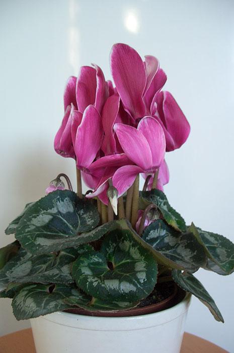 цикламен, цветы цикламена, листья цикламена, выращивание цикламена в доме