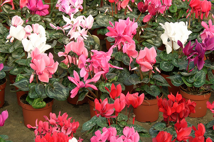 цветущие цикламены, цветы цикламена, форма цветков цикламена
