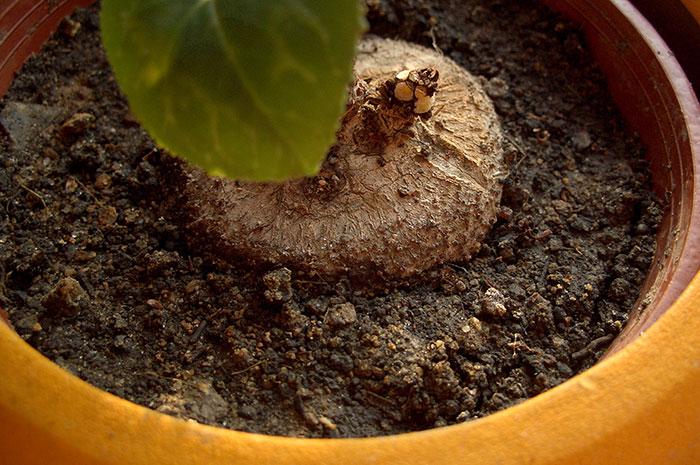 клубень цикламена, размножение цикламена клубнем