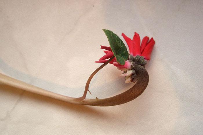 цветение цикламена, необычный цветонос