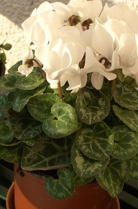 цикламен, цветы цикламена, выращивание цикламена в доме