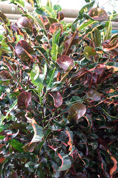Кротон (кодиеум) как комнатное растение, окраска листьев кротона (кодиеума)