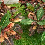 Пять основных ошибок при выращивании кодиеума (кротона) в доме