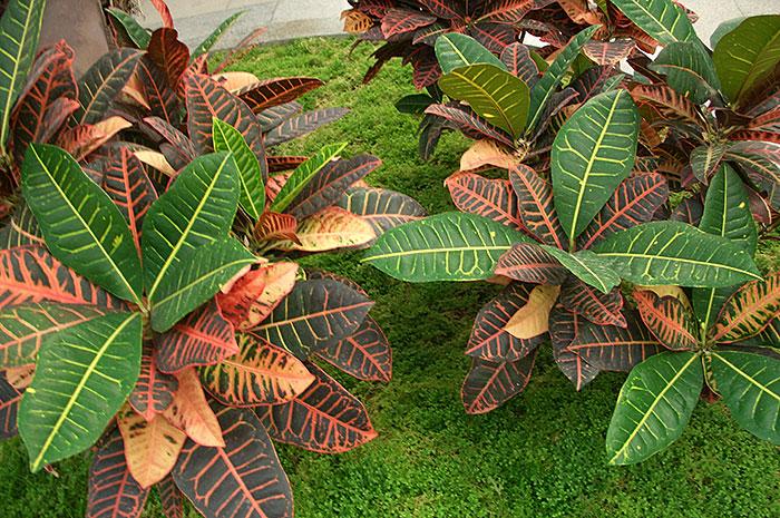 Кротон (кодиеум) как комнатное растение, кротоны в зимнем саду, окраска листьев кротона (кодиеума)
