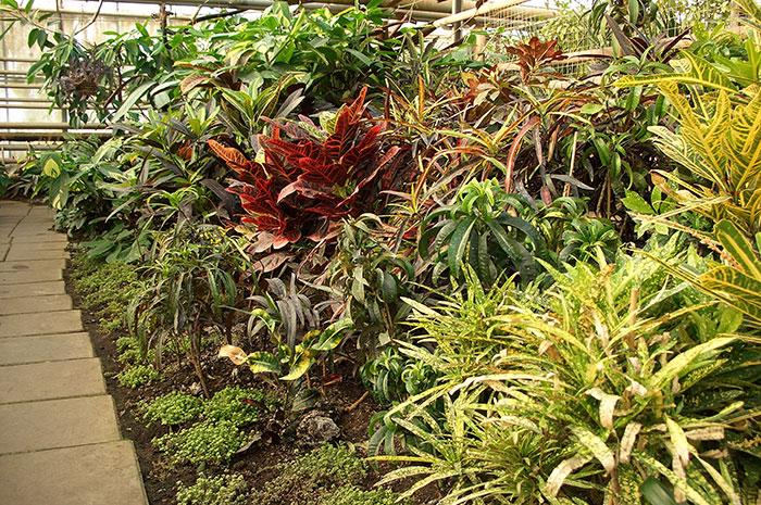 кодиеум, кротон, окраска листьев кодиеума (кротона)