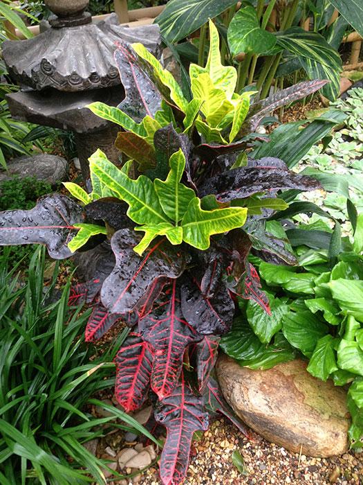 Кротон (кодиеум) как комнатное растение, опрыскивание листьев кротона, окраска листьев кротона (кодиеума)