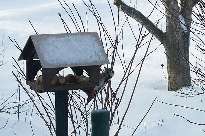 дятел у кормушки, корм для птиц, кормушка для птиц