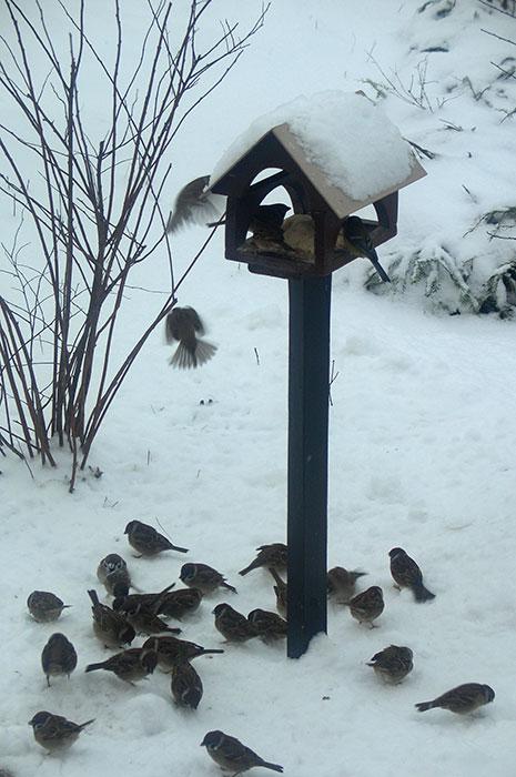 воробьи возле кормушки, кормушка для птиц, корм для воробьёв, белый хлеб как птичий корм