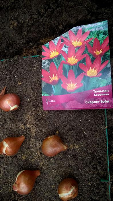 луковицы тюльпана, посадка луковиц тюльпана, какие луковицы тюльпана выбрать