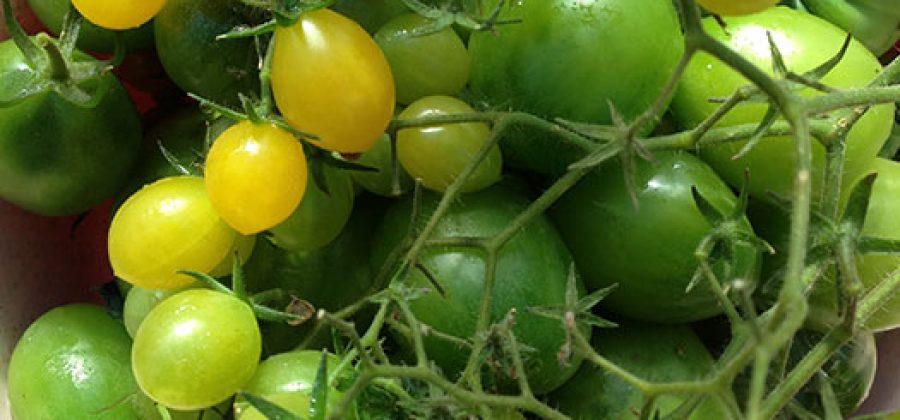 Томаты-черри: выращивание и описание сортов