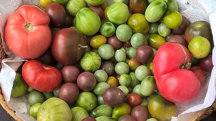 дозаривание томатов, неспелые томаты черри, урожай томатов черри