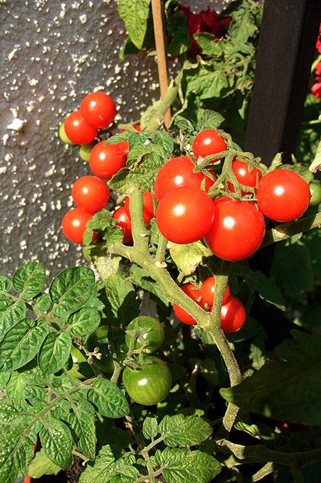 балконные томаты, мелкоплодные томаты-черри в цветочных горшках, низкорослые томаты черри