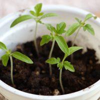 Посев рассады томатов и перцев в апреле